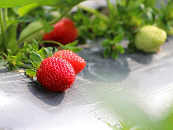 茄子苗期施肥要点